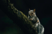 Squirrel On A Tree, Eating Nut