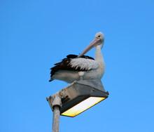 Pelican Sitting On A Light Pole