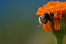 Beautiful Shaggy Bee Pollinate...