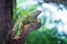 Green Iguana Was Resting On A ...