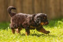 Black And Gold Hovie, Dog Hova...