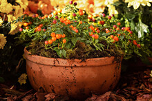 Potted Solanum Plant With Berr...