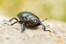 European Stag Beetle Female (L...