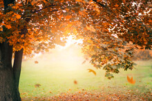 Autumn Nature Landscape Photography. Old Maple Tree With Yellow Falling Leaves On Green Grass. Beautiful Sunset, Sun Rays And Glare