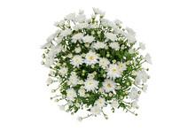 White Chrysanthemum Flowers An...