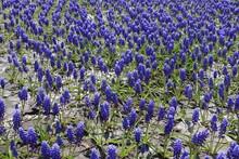 Hundreds Of Violet Flowers Of ...