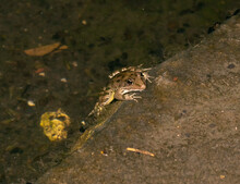 The River Amphibian  Frog Sits...