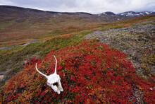 Reindeer Skull On Red Leaves