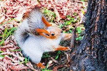 A Funny Fluffy Red Squirrel Si...