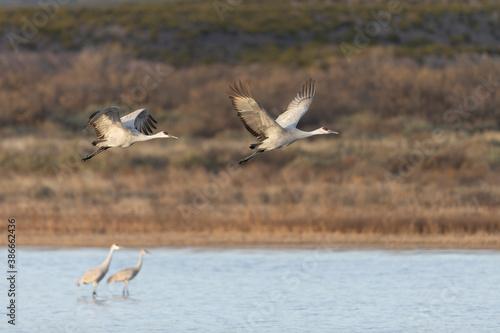 Naklejka premium Beautiful Sandhill Cranes in Bosque Del Apache National Wildlife Refuge