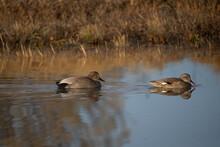 Gadwall Ducks On Pond