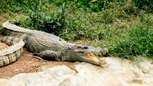 The Crocodile In The Zoo Lies With Its Mouth Open And Sunbathing Happily