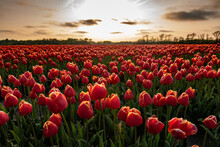 Red Sky Over A Field Of Tulips