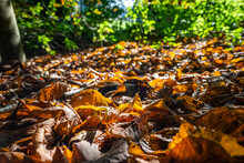Autumn Leaf Litter On The Wood...