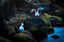Zwei Möwen An Der Küste, Kie...