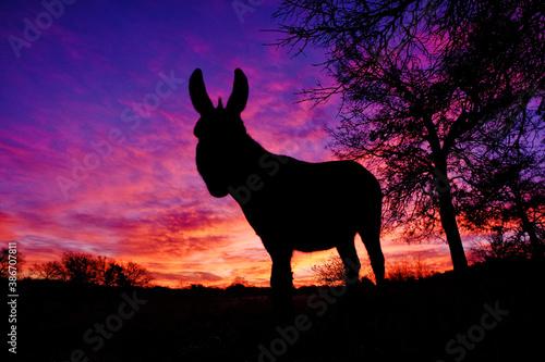 Fotografia Mini donkey silhouette with sunrise sky background.
