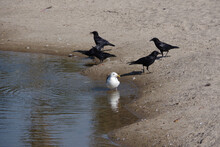 Black Crows And A White Seagul...