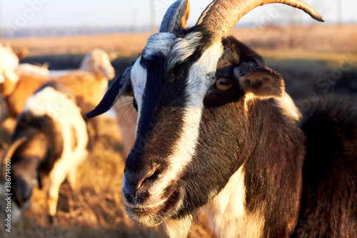 Portrait of a goat on a pasture. Muzzle goat at nature Fototapete