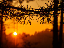 Raindrops On Pine Needles In The Sunlight At Sunset, In A Beautiful And Picturesque Forest.