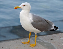 Portrait Of Sea Gull