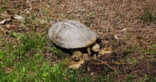 Red-eared Slider Turtle Covering Nest With Mud.