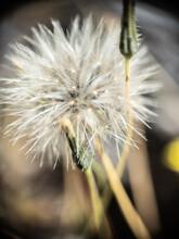White Cotton Wildflower In The Field
