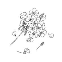 Geranium Flower, Botanical Sketch, Outline. Hand Drawing Ink. Home Plants Geranium