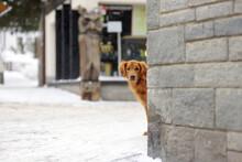 Irish Setter Dog On Street Of ...