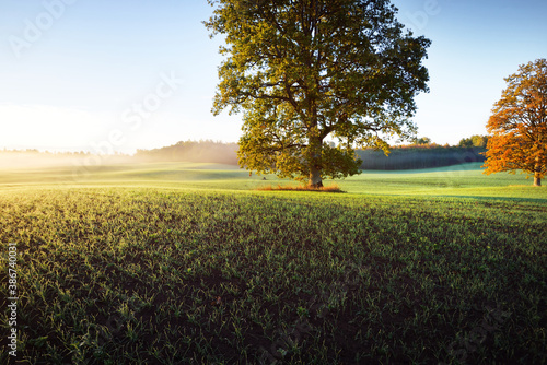 Obraz Mighty oak tree with green and golden leaves on the plowed agricultural field with tractor tracks at sunrise, close-up. Picturesque autumn scenery. Pure nature, ecology, trees, farm, lumber industry - fototapety do salonu