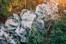 Bed With Cabbage And Other Vegetables In The Greenhouse In The Garden