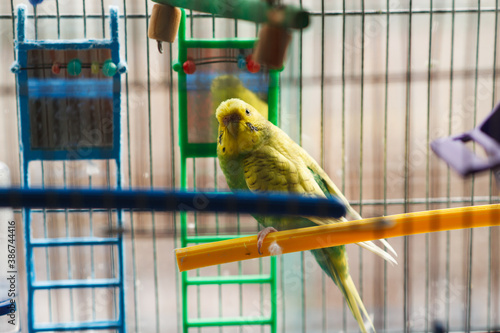 A green parrot sits on a perch in his cage. Fototapeta