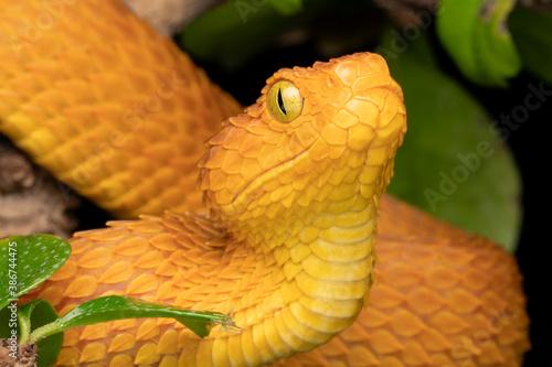Fototapeta Venomous Bush Viper snake in tree (Atheris squamigera) female