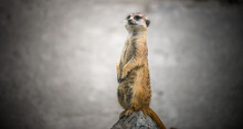 Meerkat Sits Upright And Prote...