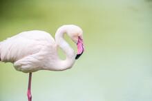 Flamingo With Pink Beak On Bac...