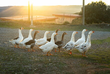 Several Geese Walking With The...
