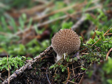 The Spiny Puffball (Lycoperdon Echinatum) Is An Inedible Mushroom