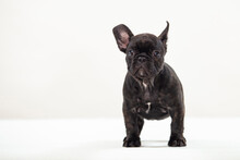 Lovely Black French Bulldog Pu...