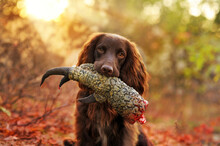 Little Spaniel Dog At The Hunt...
