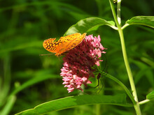 Real Closeup Of Silver Washed Fritillary Butterfly (Argynnis Paphia) An Orange Butterfly  On Pink Flower As The Flower Leans Forward And Spider Hangs On Below Flower Bloom Macro View