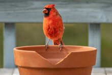 Red Male Cardinal On A Clay Pot Landscape