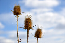 Dry Thistle Heads In Sunlight ...
