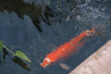 Red Japanese Koi Fish In Pond With Water Feature