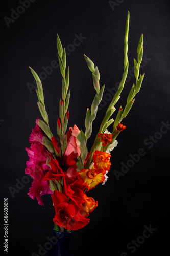 Cuadros en Lienzo bouquet of red, pink, yellow and white gladioli on a black background