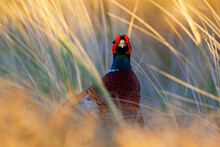 Common Pheasant, Phasianus Col...