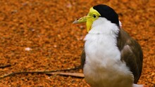 Close Up Of A Masked Lapwing Bird Cleaning His Back.