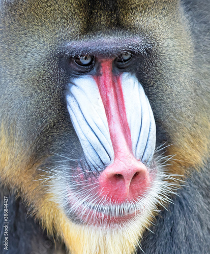 Fotografia Colorful mandrill baboon
