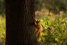 Red Squirrel On The Tree Trunk
