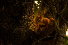 Red Squirrel On Tree With Walnut In Mouth