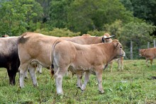 Group Of Aubrac Cows In Pasture