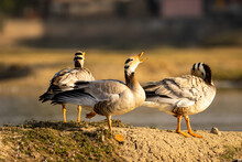 Bar Headed Goose Flock Of Bird...